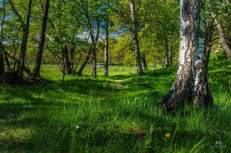 Birch_and_forest_at_Isblandskärret,_Djurgården_(Stockholm-Sweden)_-_panoramio_(2).jpg